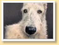 "Irish Wolfhound Hündin ""Moira"", Pastellkreide, DinA4"